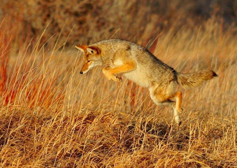 36. Койоты охотятся. дикая природа, животные, фото