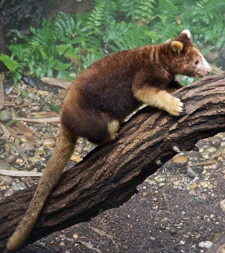 Древесные кенгуру животные, интересное, фото