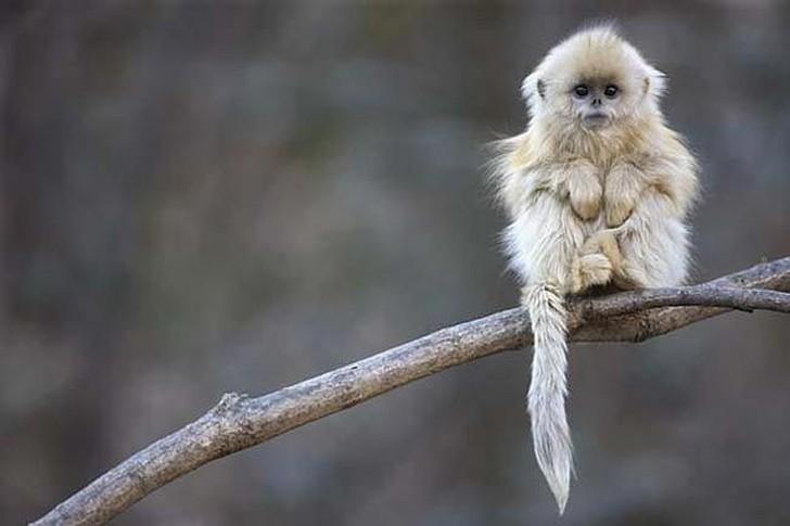 Золотистые курносые обезьяны животные, интересное, фото