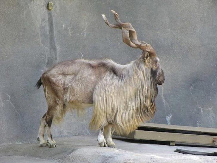Мархур животные, интересное, фото
