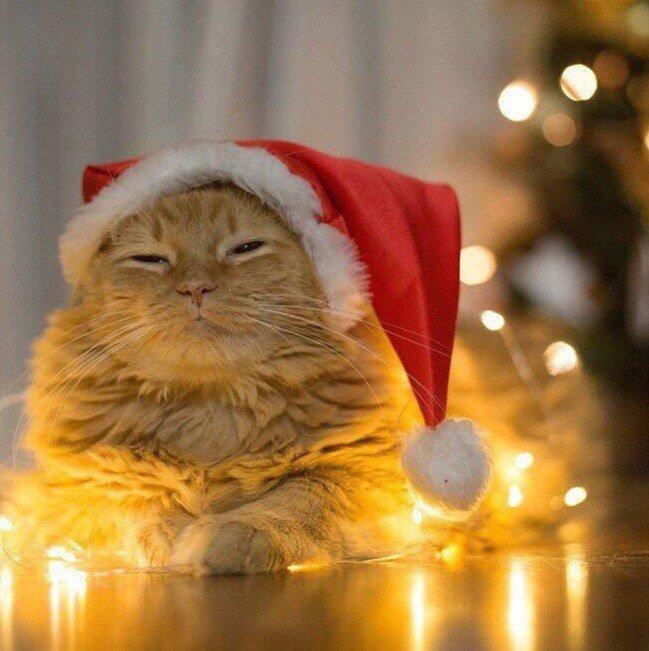 Новогодние котики, которые поднимут вам настроение животные, кот, новый  год, рождество