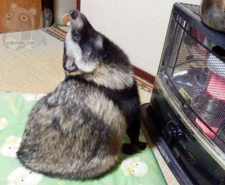 Енотовидная собака Тану стала звездой интернета  видео, енот, прикол, собака