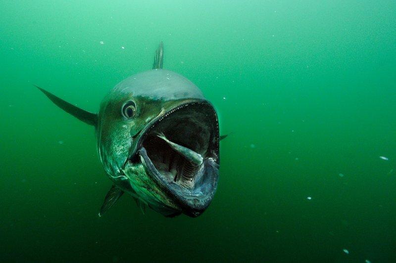 Огромный тунец у Острова Принца Эдуарда, Канада вода, интересное, море, рыбы