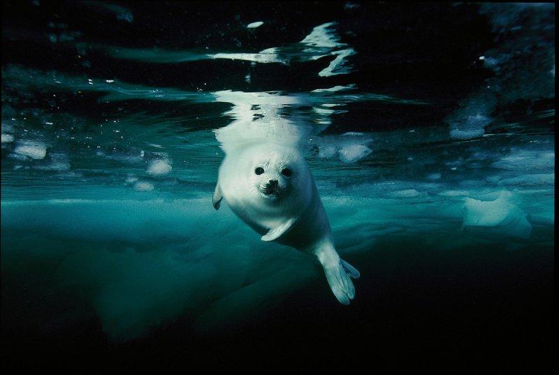 Детёныш (щенок) гренландского тюленя в заливе Святого Лаврентия, Канада вода, интересное, море, рыбы