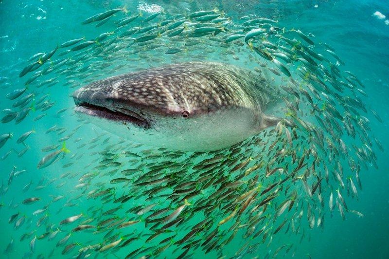 Китовая акула и рыбы, Мексика вода, интересное, море, рыбы