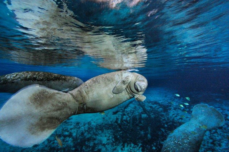 Ламантины, источник «Три сестры», Кристал-Ривер, Флорида вода, интересное, море, рыбы