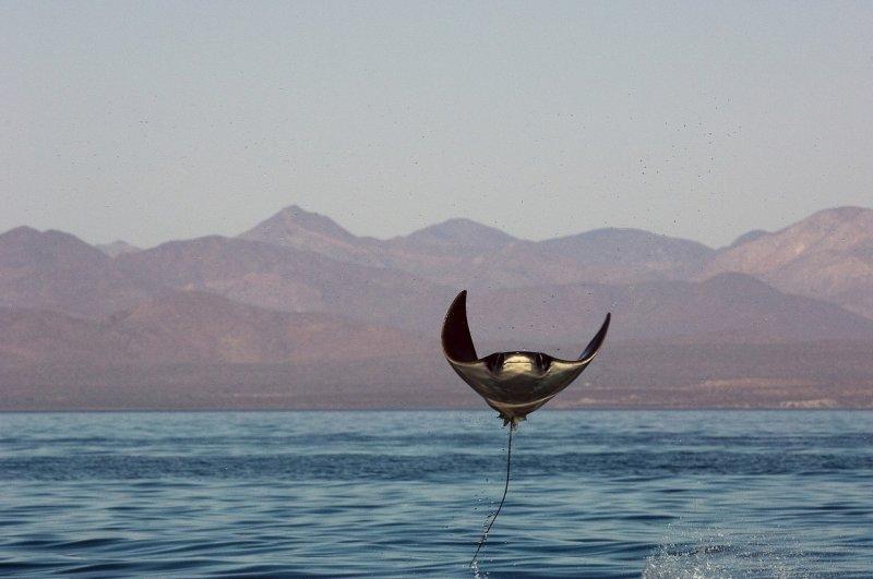 Выскочивший из воды скат манта, Мексика вода, интересное, море, рыбы