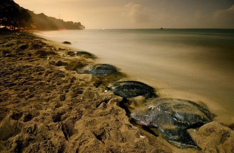 Кожистые черепахи, Тринидад, неподалёку от побережья Венесуэлы вода, интересное, море, рыбы