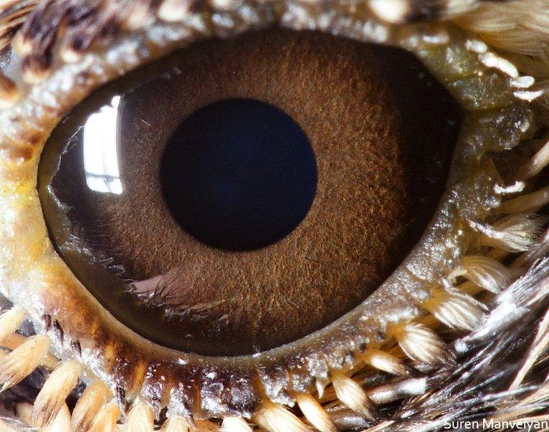Глаз жаворонка глаза, интересное, фото