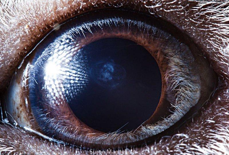 Глаз морской свинки глаза, интересное, фото