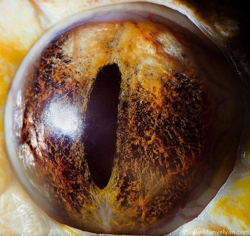 Глаз тигрового питона глаза, интересное, фото