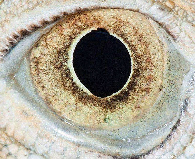 Глаз игуаны глаза, интересное, фото