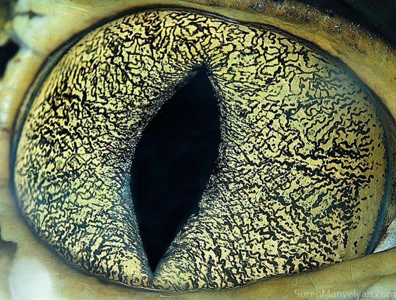 Глаз каймана глаза, интересное, фото