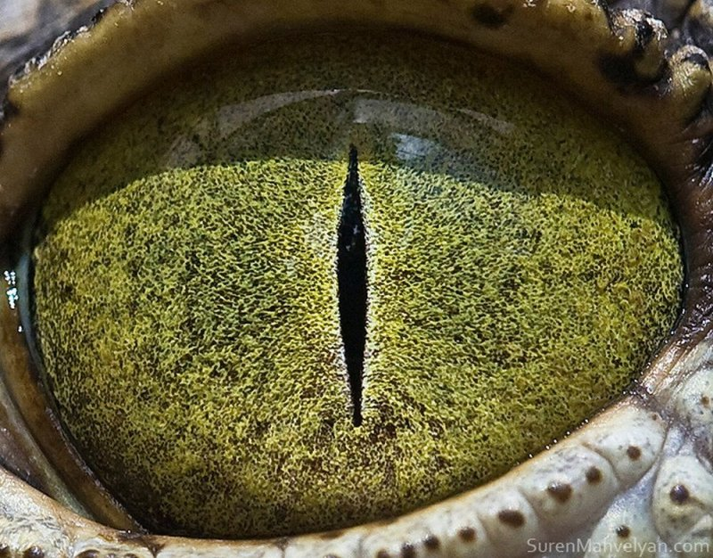 Глаз крокодила глаза, интересное, фото