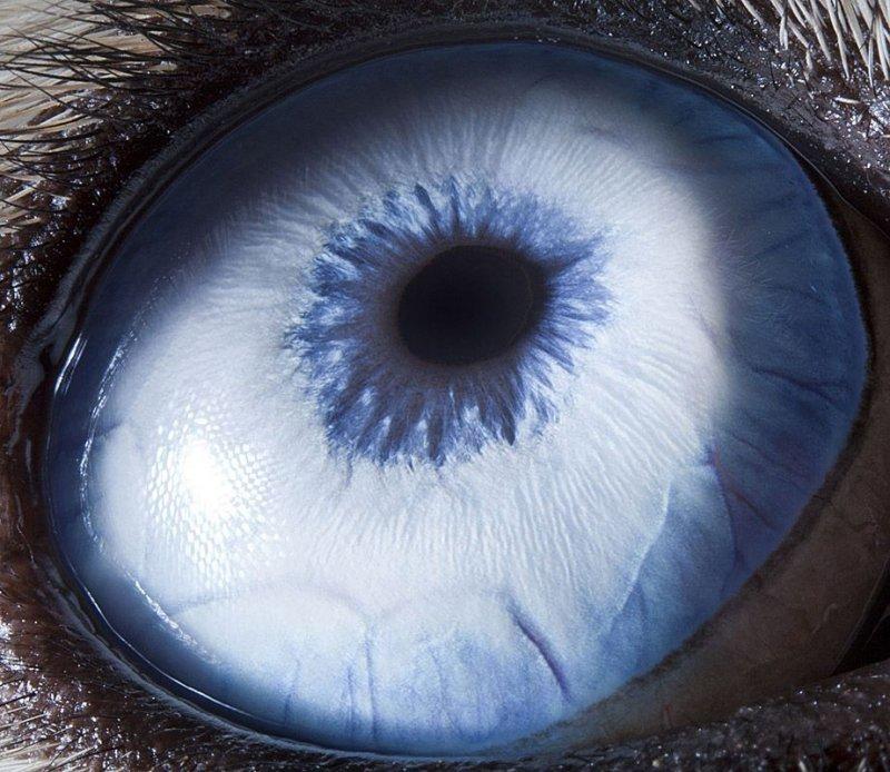 Глаз собаки Хаски глаза, интересное, фото