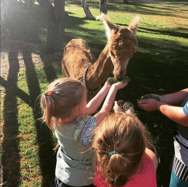 "Чупака — самая знаменитая альпака ""Инстаграма""  instagram, альпака, интересное, фото"