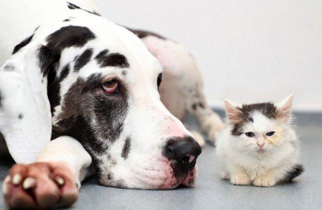 Хозяева датского дога по кличке Харли помогли ветеринарам сохранить глаза малышу. кот, котёнок, собака, спасение, фото