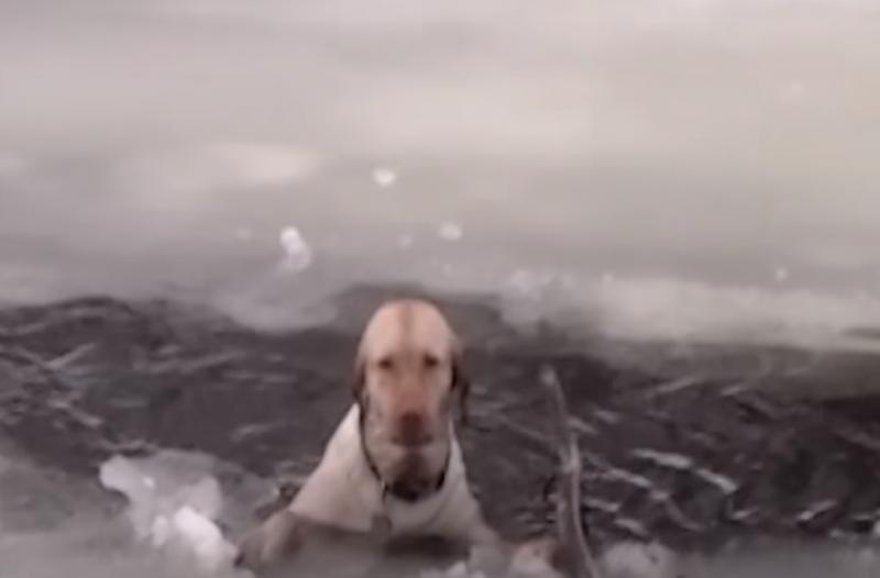Пес обреченно тонул в ледяном озере вода, пёс, спасение