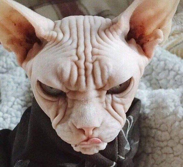 Не будите во мне зверя: самые забавные сердитые животные животные, кошки, собаки