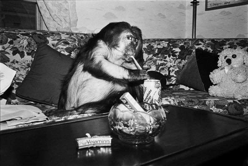 Минни, 1989 год. Медвежий макак, самка, 13 лет. интересное, обезьяны, фото