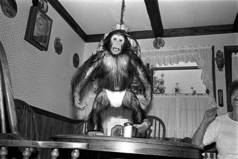 Мария, 1988 год. Шимпанзе, самка, 2 года. интересное, обезьяны, фото
