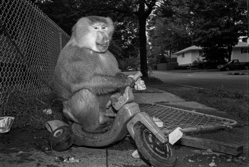 Пит, 1989 год. Гамадрил, самец, 5 лет. интересное, обезьяны, фото