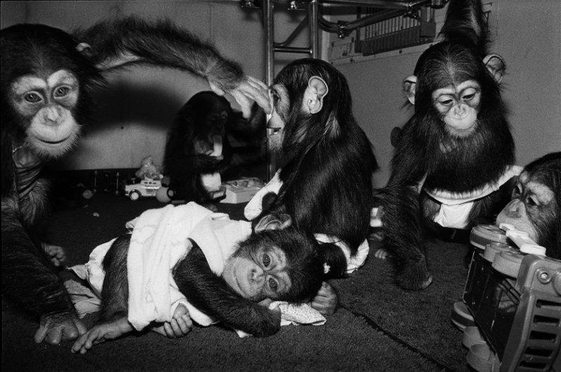 Джош, Гермиона, Алексис, Рене, Эвок, 1988 год. Шимпанзе, всем меньше года. интересное, обезьяны, фото