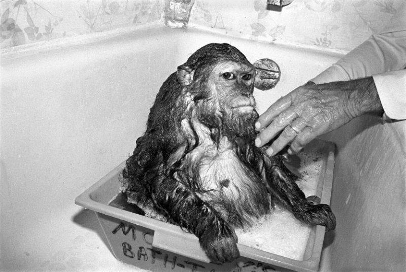 Либби, 1989 год. Медвежий макак, самка, 13 лет. интересное, обезьяны, фото