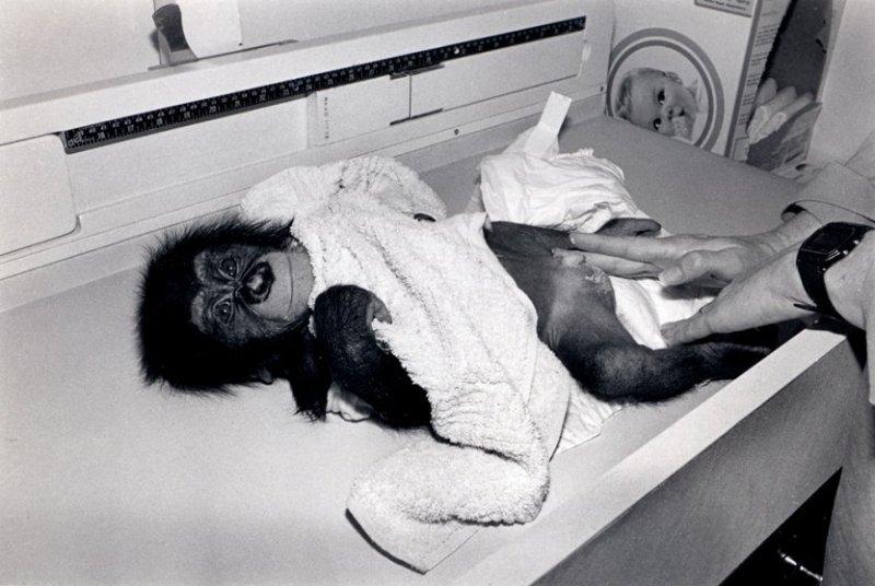 Гордо, 1989 год. Шимпанзе, самец, 3 месяца. интересное, обезьяны, фото