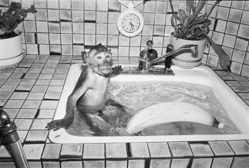 Шибу, 1989 год. Макак-крабоед, самец, 18 месяцев. интересное, обезьяны, фото