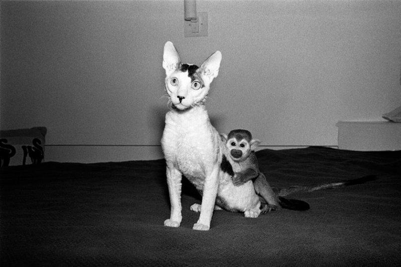Уолли и Споп, 1992 год. Саймири, самец, 3 года и корниш-рекс, самец, 7 месяцев. интересное, обезьяны, фото