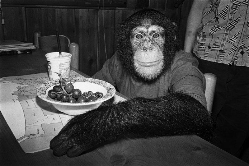 Чарли, 1988 год. Шимпанзе, самка, 5 лет. интересное, обезьяны, фото