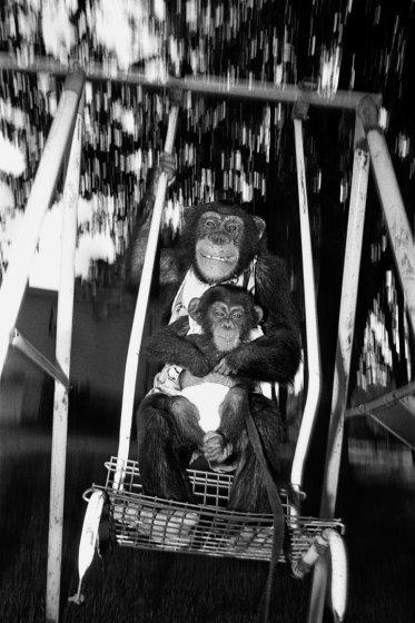 Эйнджел и Кейси, 1989 год. Шимпанзе, самки, 7 и 6 месяцев. интересное, обезьяны, фото