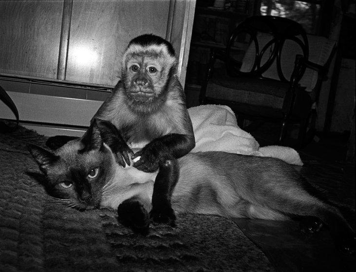 Тэдди и Катя, 1988 год. Капуцин-фавн, самец, 3 года и сиамская кошка, самка, 12 лет. интересное, обезьяны, фото
