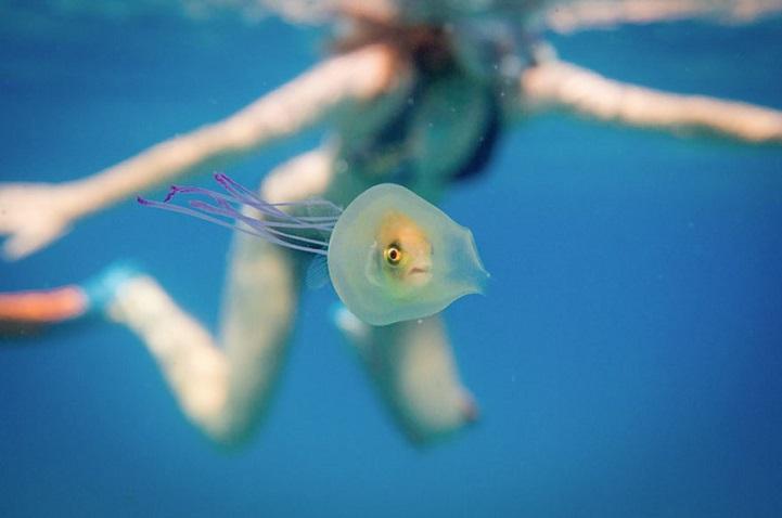 Рыба «за штурвалом» внутри медузы бороздит океан  интересное, рыба, фото