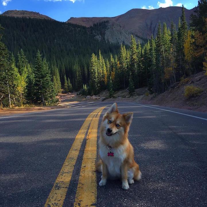 Удивительный гибрид хаски и шпица гибрид, собака, фото
