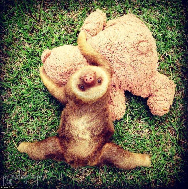 Милейшие осиротевшие ленивцы из приюта в Коста-Рике   ленивцы, спасение, фото