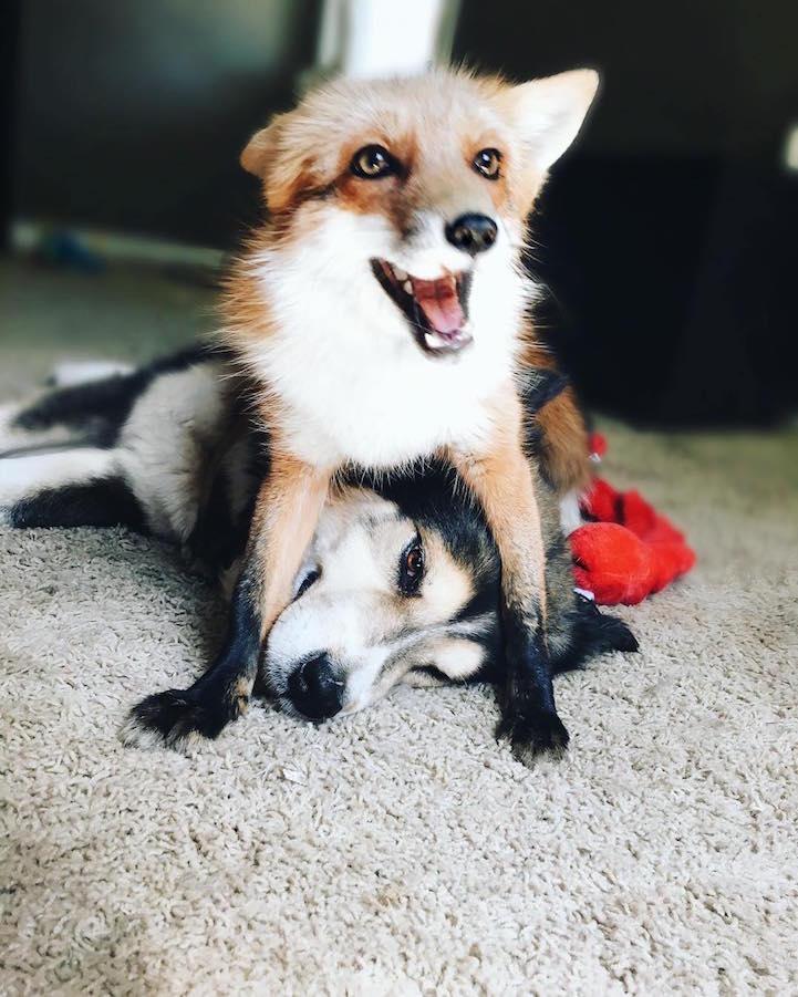 Умилительная парочка, покорившая интернет  лиса, собака, фото