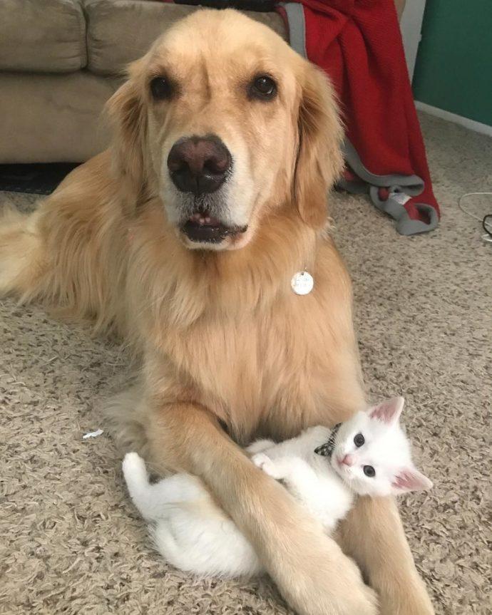 Пёс принял котёнка как собственного ребёнка спасение, фото.собака