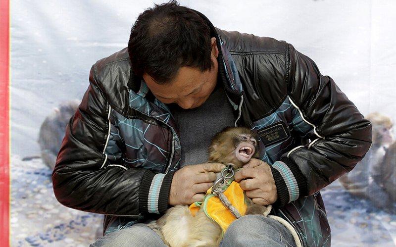 Дрессированные обезьянки из китайской деревни, которые не рады своей работе  жестокость, история, обезьяны