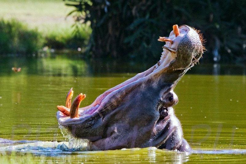 Гиппопотам спас утёнка, и вернул его маме  видео, дикие животные, спасение