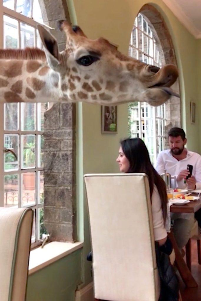 Местечко находится на 140 га заповедника в Кении, называется оно - Поместье Жирафов животные, жирафы, милые фото животных, отель, туристы