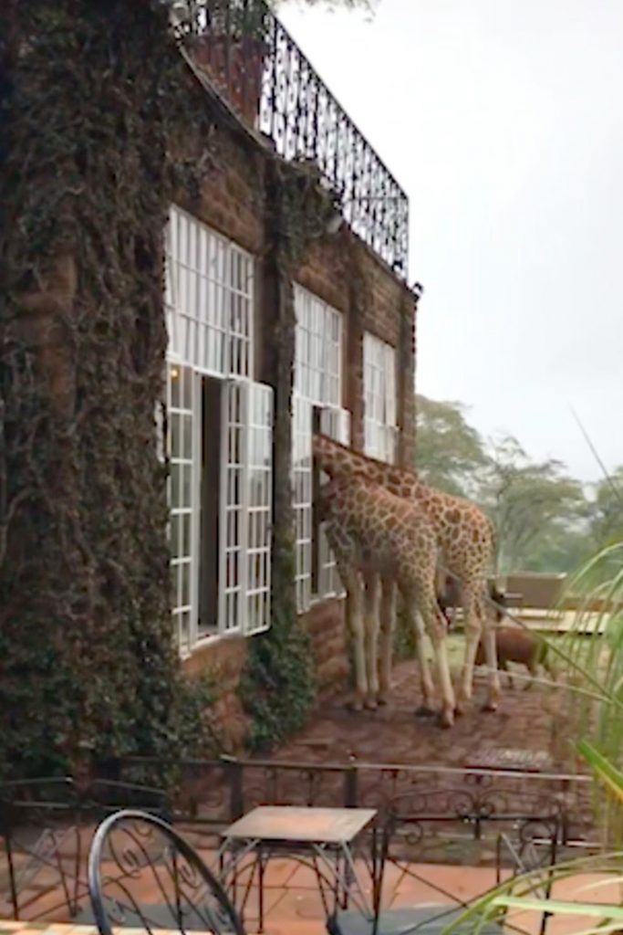 Жирафы воруют еду у посетителей отеля животные, жирафы, милые фото животных, отель, туристы