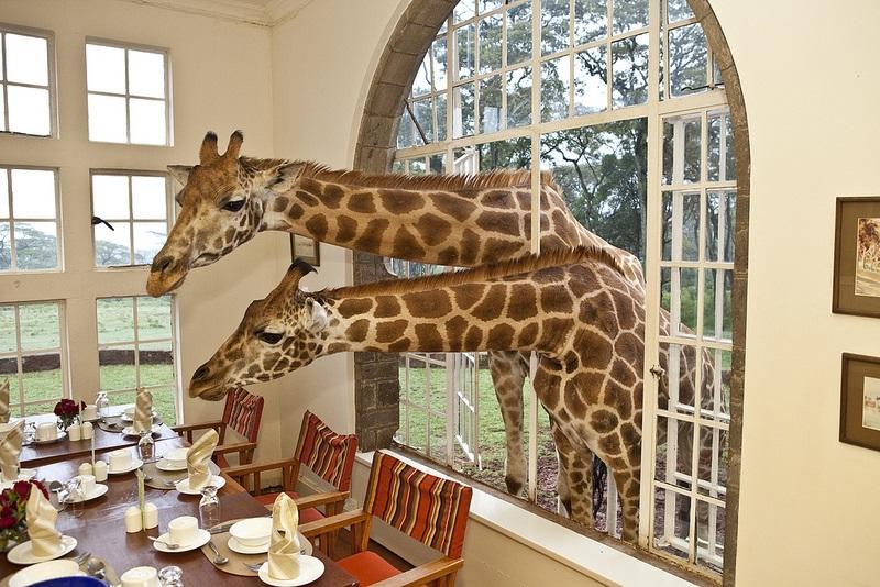 Ну что за очаровательно местечко? животные, жирафы, милые фото животных, отель, туристы