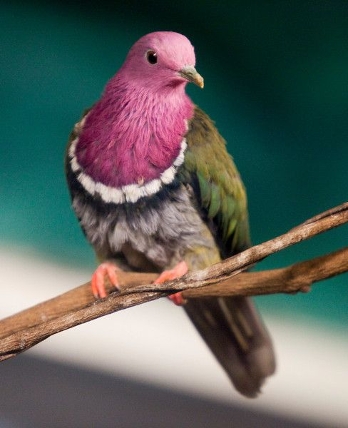 Голуби, которых мы можем никогда в жизни не увидеть  голуби, интересно, природа, птицы, факты, фото, экзотика