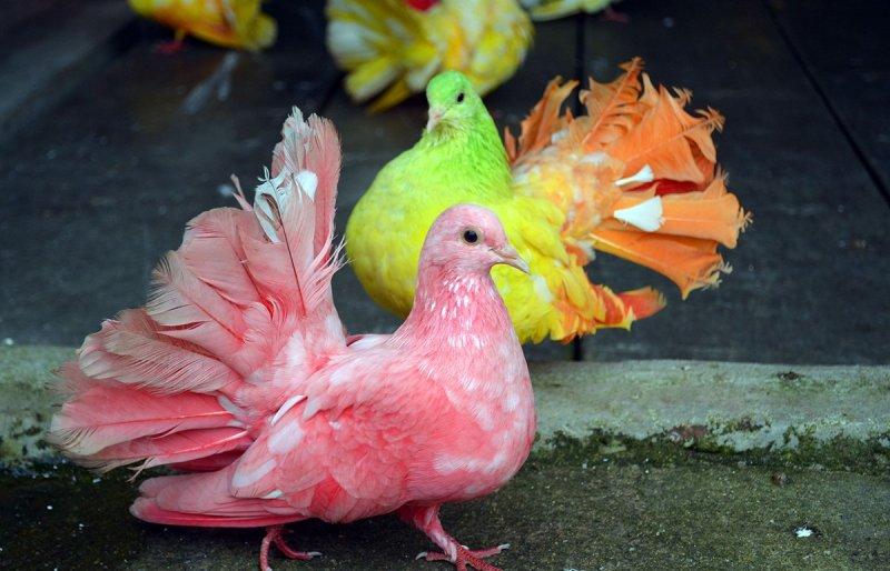 Можно предположить, что эти голуби просто выкрашены в яркие цвета, потому что выступают в цирке голуби, интересно, природа, птицы, факты, фото, экзотика