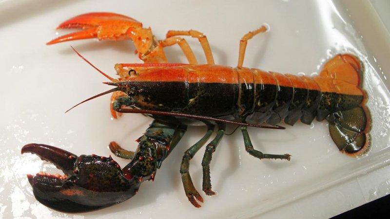 Мы привыкли, что лобстеры преимущественно красного цвета, однако в природе, редко, порой на 50 млн особей, встречаются неоновые, желтые, а также омары-альбиносы лобстеры, морская еда, омары, факты