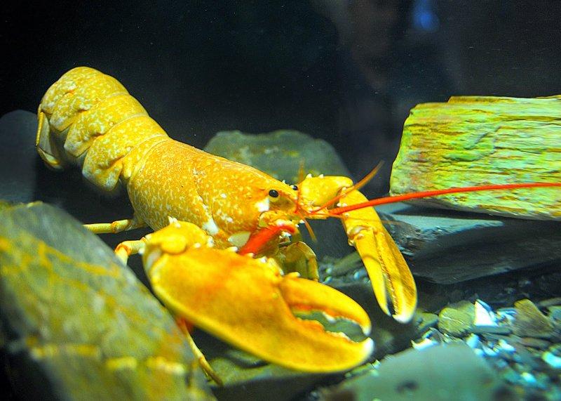 Редкие омары, которые стоят целое состояние  лобстеры, морская еда, омары, факты