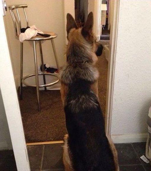 10. Я вернулся домой и забыл закрыть щеколду, мой пес следил за дверью все время любимчики, милые псы, охранники, собаки, фото, щенки