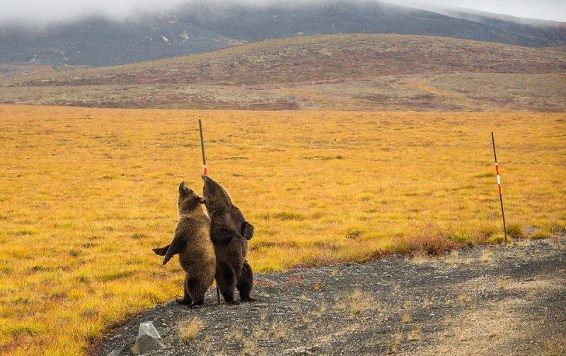 Трутся спиной медведи о земную ось  интересное, медведи, фото